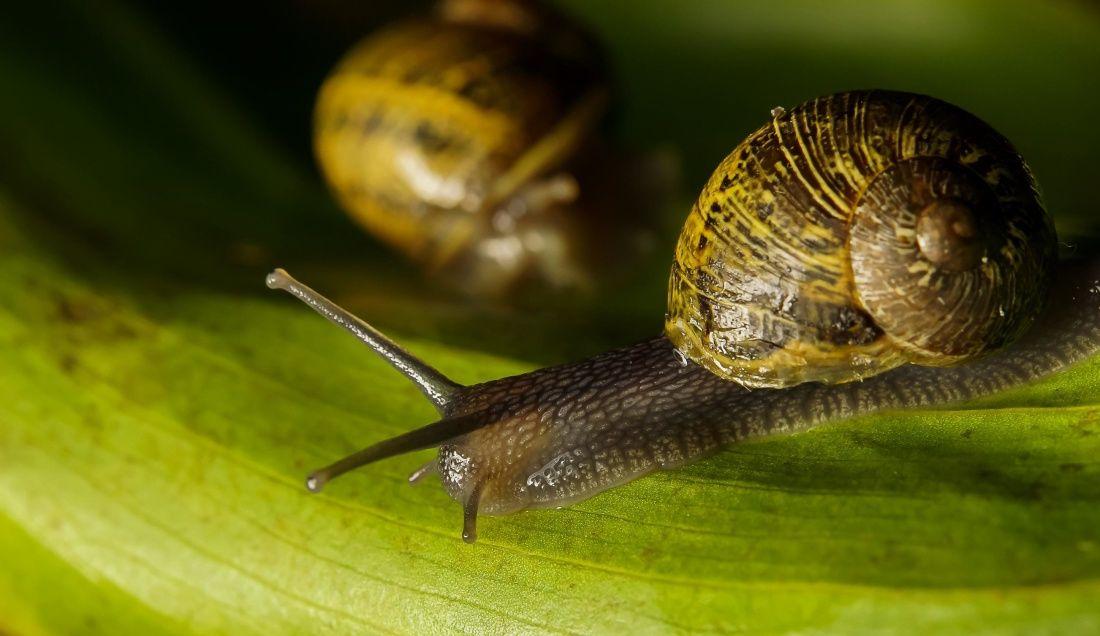 siput biologi invertebrata makro hewan siput lendir