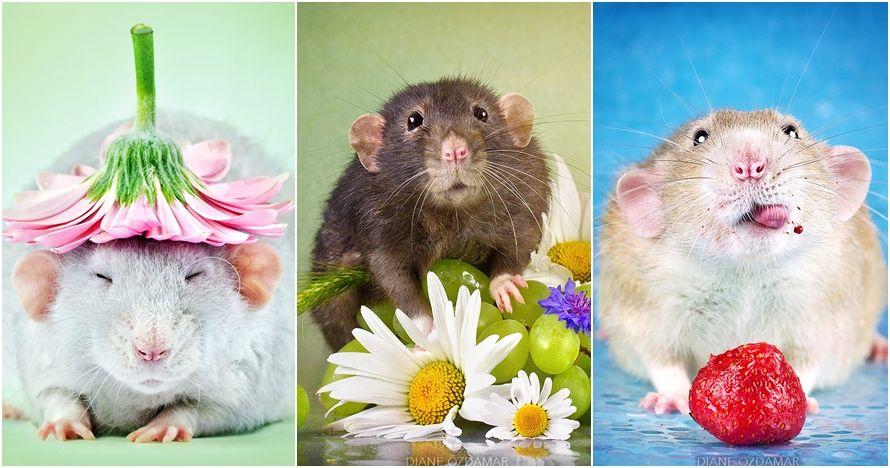 bak model 15 foto ini bukti tikus juga lihai berpose imut fancy