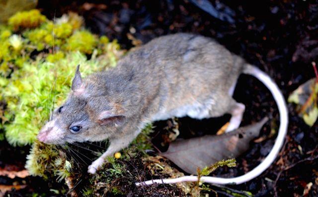 tikus kambola yang memiliki wilayah jelajah kauh hingga 40 an kilometer foto