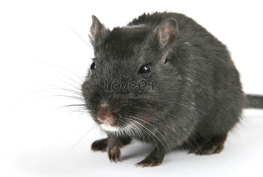 tikus comel