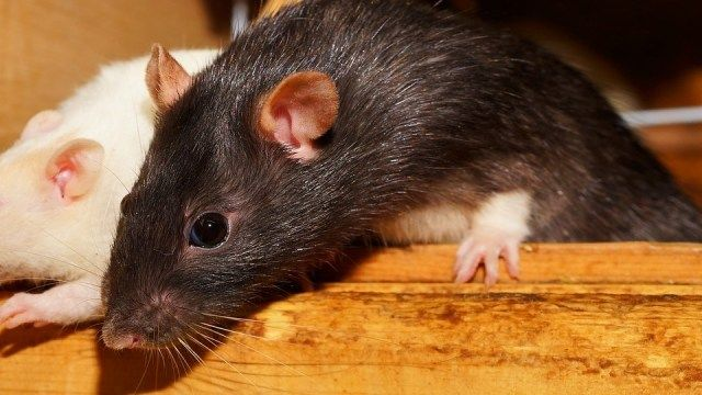 tikus rumah foto kapa65 pixabay