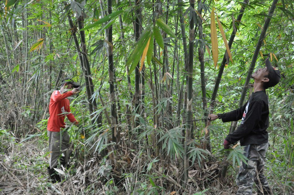 tali pinggang ular berbisa kerja pencari buluh lemang dipenuhi risiko suara perak