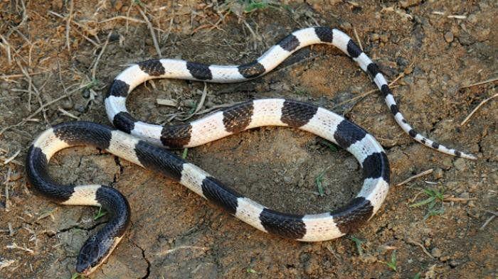 itu yang ada nama ular tedung hitam ular tedung selar ular tedung senduk etc camtu jugak dgn ular katam kraits