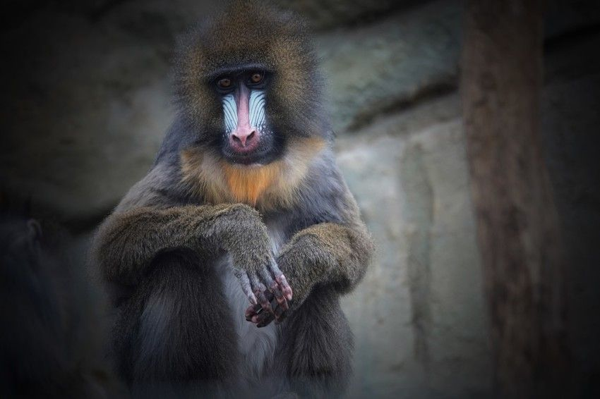 mandrill looking at camera old world monkey mandrillus sphinx eyeem selects animal wildlife primate animals in