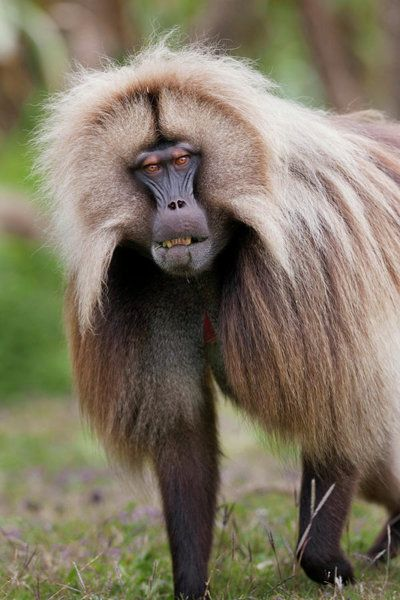 green monkey wall art photograph gelada gelada baboon theropithecus by martin zwick