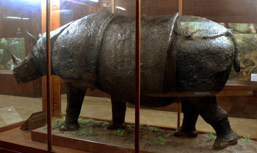 inilah spesimen badak jawa yang berada di museum zoologicum bogoriense lipi mzb lipi