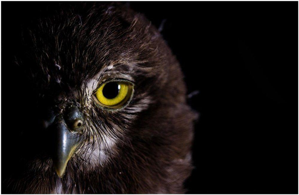 poster 17030527 burung hantu owl