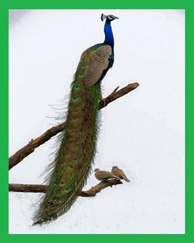 Muat Turun Segera Himpunan Contoh Poster Burung Merak Yang