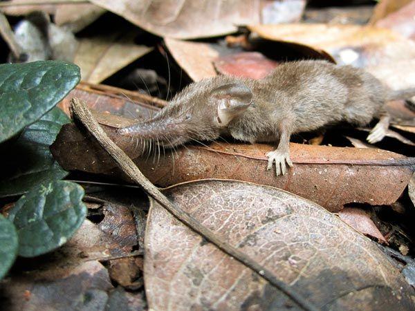 spesies baru cecurut rumah di sulawesi indonesia sumber gambar