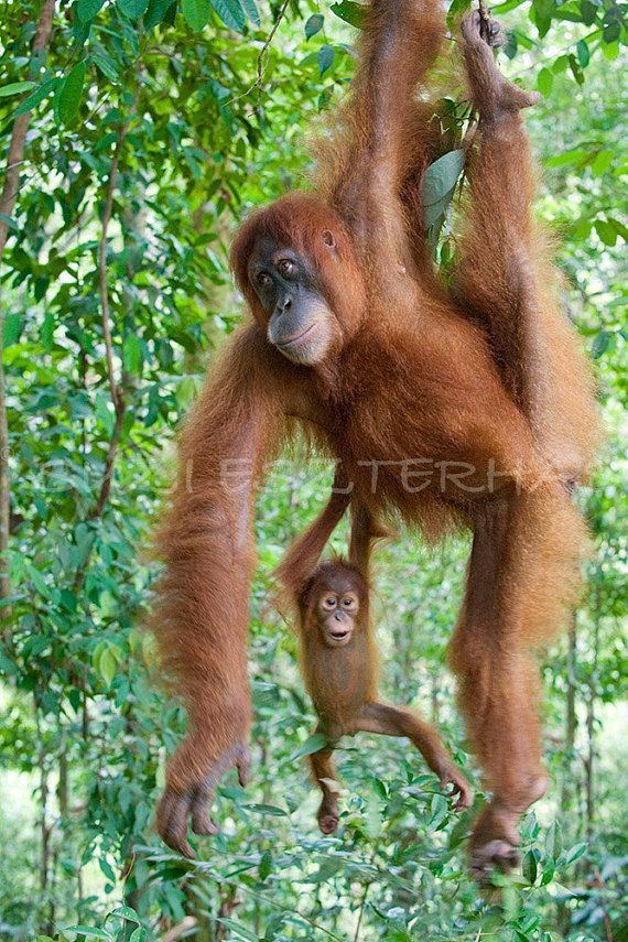 nursery wall art baby orangutan playing with mom photo mother and baby animal photograph jungle n
